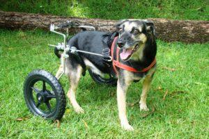 A qualidade de vida dos animais cadeirantes